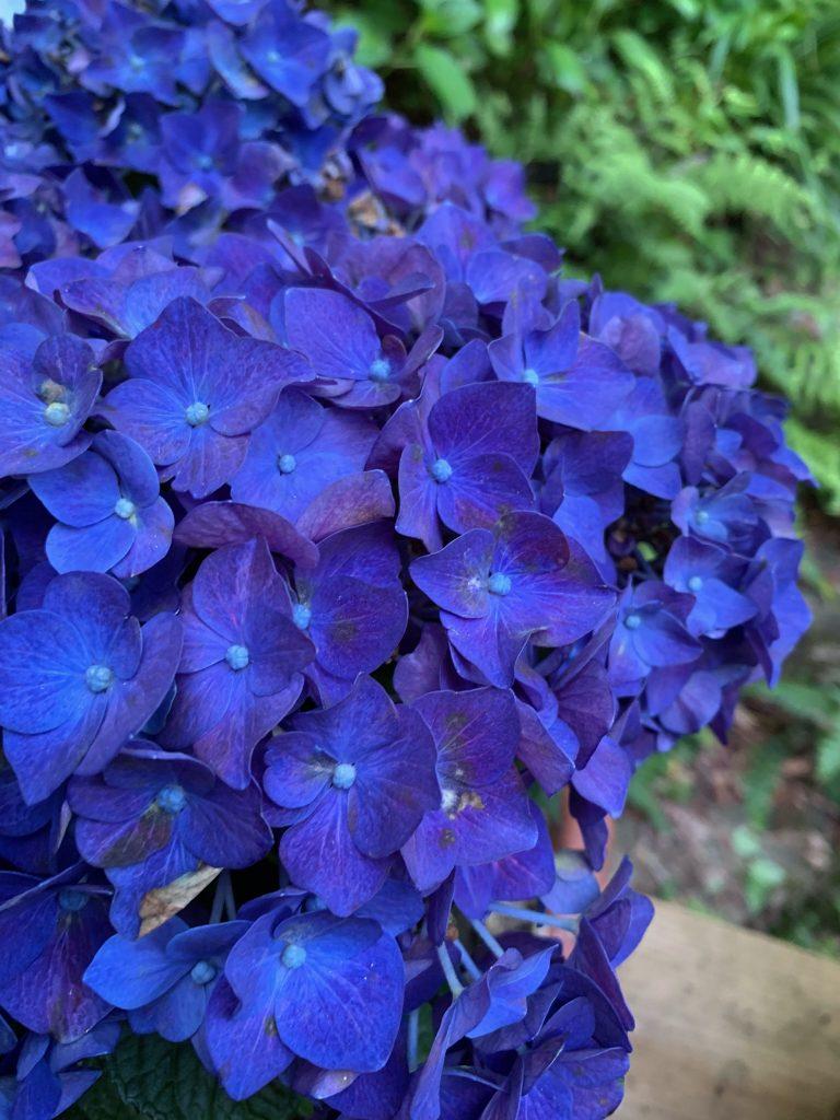 《紫陽花》の季節