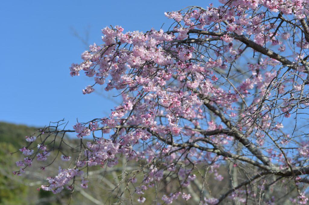 八坂神社🌸桜
