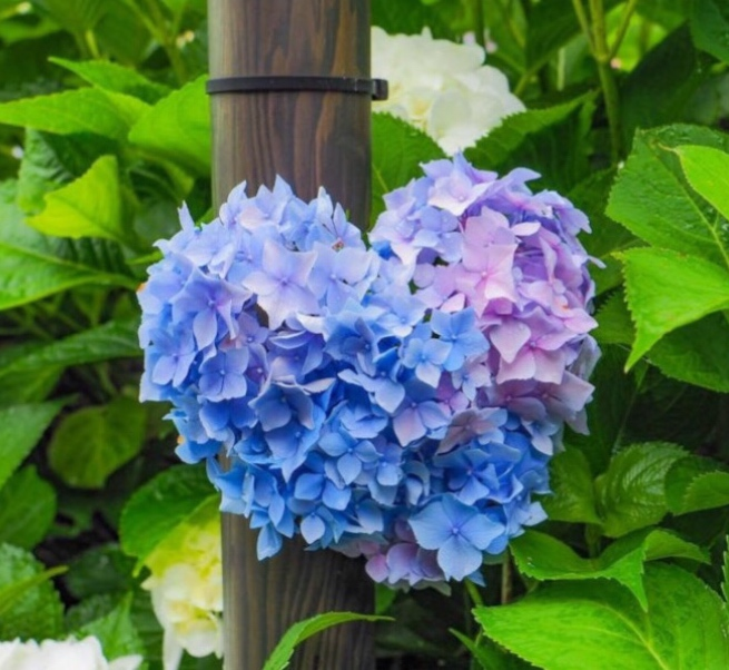 💐6月は紫陽花💐